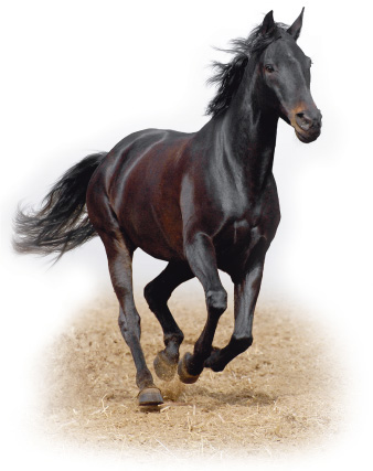 Photograph of a healthy horse running